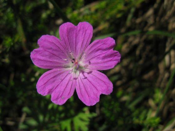 Plitvice10b_flower